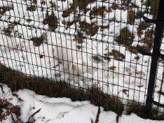 Beleolvad környezetébe a sarki róka