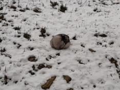 Fázós sarki róka