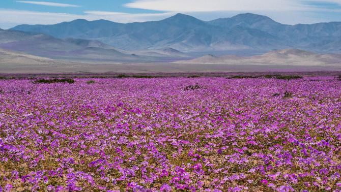 Virágba borult Atacama-sivatag